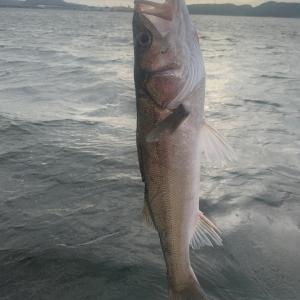 島根の中海で、シーバス釣り♪