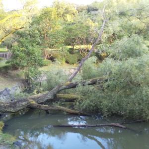 大木倒れてます!!