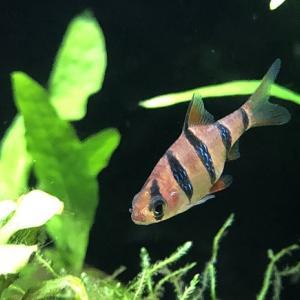 美しさ最上級の淡水魚「プンティウス・ペンタゾナ・ジョボレンシス」の飼育