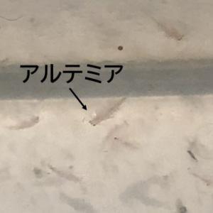 【自由研究】生きる化石「アルテミア」を育てよう