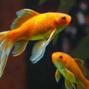 最も油膜を除去してくれる魚は金魚で間違いない