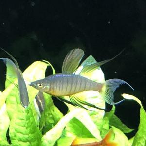 美しいニューギニアレインボーの魚体を作る飼育のポイントとは