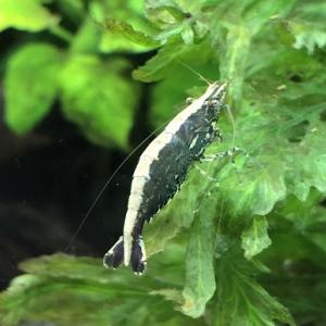 コケ取り生体には川で捕まえたエビがお勧め -お金をかける必要無し-