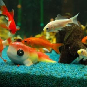 【アクアリウム】子供も喜ぶ人懐っこい魚を5種紹介
