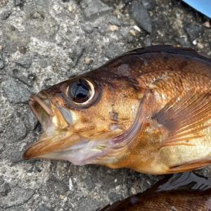 【明石市】大蔵海岸のメバル釣り -昼間のフカセ釣りで狙う-