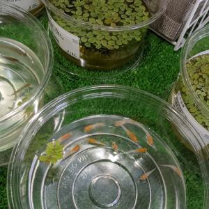 ハチ活 ビオトープに水草とメダカ