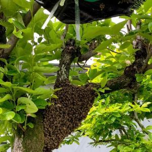 ハチ活 分蜂