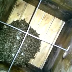 ハチ活 まさかの新女王蜂不在?