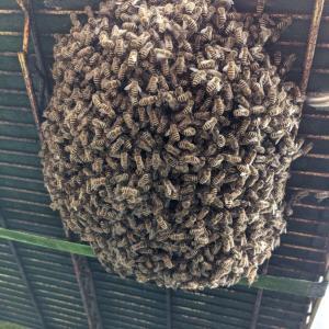 ハチ活 第5分蜂