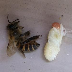 ハチ活 次女女王蜂率いる第3分蜂群の異変