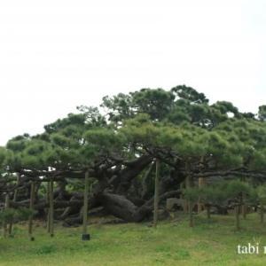 《久米島》樹齢250年以上!五枝の松