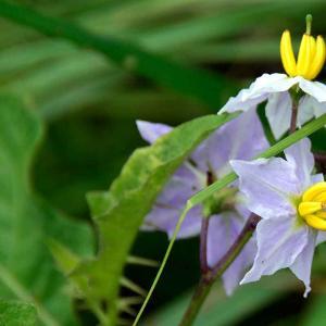 6月、島地区の畦に咲く花