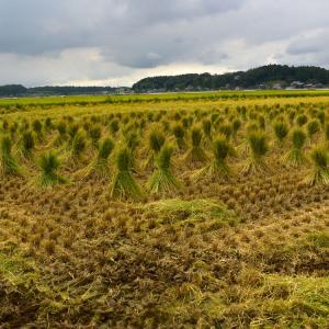 ワラボッチくん(藁苞納豆用藁)の収穫&コシヒカリの稲刈り2021