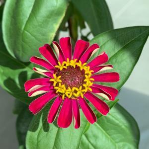 スーパーで無料でもらった種が開花