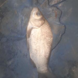 古利根川 チョイ釣りでマブ入れアタリ
