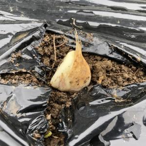 2021年のニンニク栽培開始(種まき)