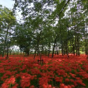 曼珠沙華(彼岸花)心揺さぶる紅を見に巾着田へ