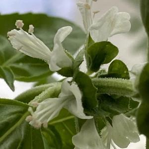 ベランダ菜園 白い花が咲きました
