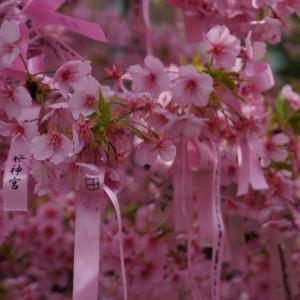 【桜神宮】河津桜と御朱印がとにかく素敵な神社へ(+αで夜桜も)