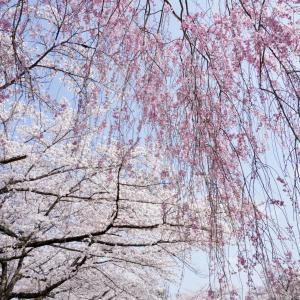 隠れた桜の名所 秩父羊山公園へ 芝桜も良いけど桜もすごい