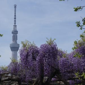 亀戸天神2021「藤まつり」より先に藤の花を見に