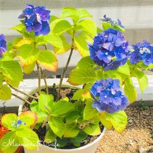 シーズンが終わった紫陽花の植え替え