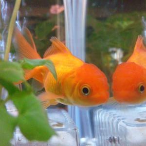 金魚すくいから始まったアクアリウム