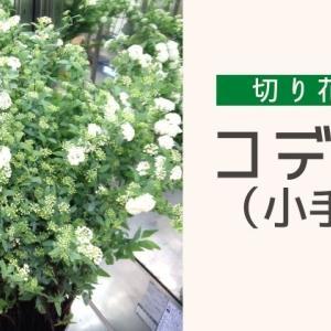 コデマリの切り花:長持ちさせる水揚げや管理方法・花言葉・飾り方のポイント