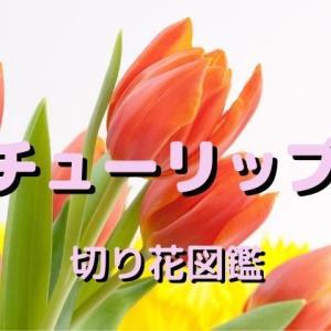 チューリップの切り花は茎や花の変化を楽しみましょう:出回り時期や長持ちさせる方法など