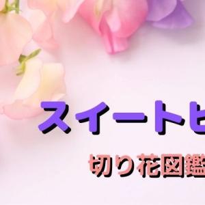 スイートピーの切り花は香りを楽しんでもらいたい♪ 長持ちさせる管理方法、赤や黄色の豆知識など…