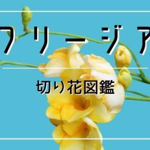 フリージアの切り花は香りが最高!長持ちで蕾まで楽しめます。飾り方や管理方法・花言葉など