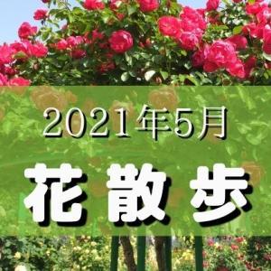春のバラがとっても綺麗!以上に早い梅雨入りで紫陽花も咲き始めました♪|2021年5月の花散歩
