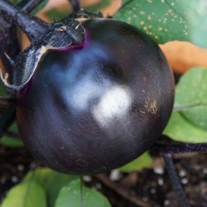 Eggplant (茄子) 夏野菜 レシピ