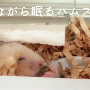 ずぼら?食べながら眠るキンクマハムスターもちおさん