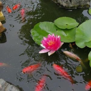 睡蓮の花がら摘み