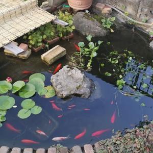 かなり手抜きな池のお世話の仕方
