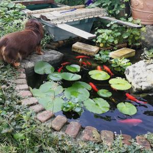 猫の気配、カエルも金魚もピンチ?