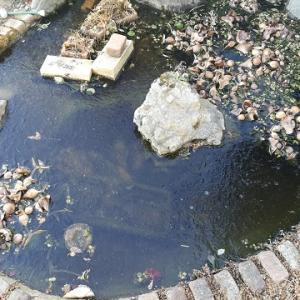 ウチの池では毎朝氷を割る理由(餅&鍋)