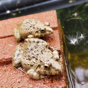 2匹のカエルが1日かけて仲良くなっていく様子