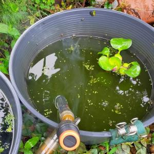 睡蓮鉢の水質悪化で、底床材の効果を実感