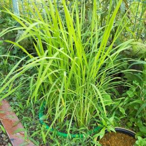 バケツ稲作りは中干し開始、国内外来種のヌマガエルを憂う