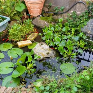 池の金魚が酸欠、原因はホテイアオイだった模様