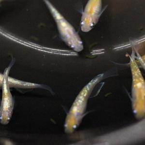 【報告】メダカの体外光の伸ばし方… メダカの飼育 途中経過