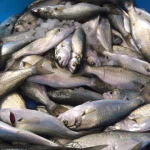 新鮮な魚とイカ&久々の義母訪問