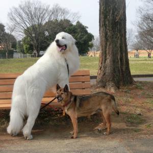 優しいピレネー犬が来て6年が経ちました