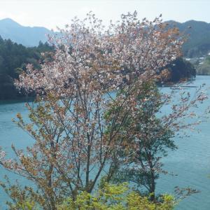 山桜が咲き乱れる日本の山