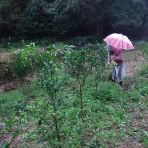 果樹苗の移植と雨宿りお弁当