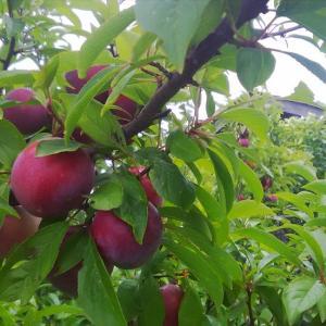 樹上完熟スモモとヤマモモ