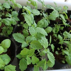 シソの植えかえと悩ましき「かご鉢」