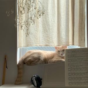 ミルクティー色の猫